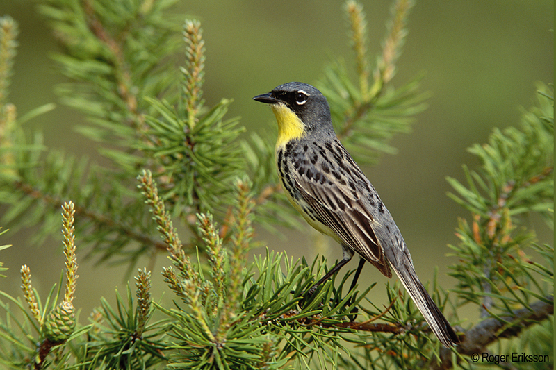 A male Kirtland's Warbler perches on a pine branch with faded pine branches and green in the background.