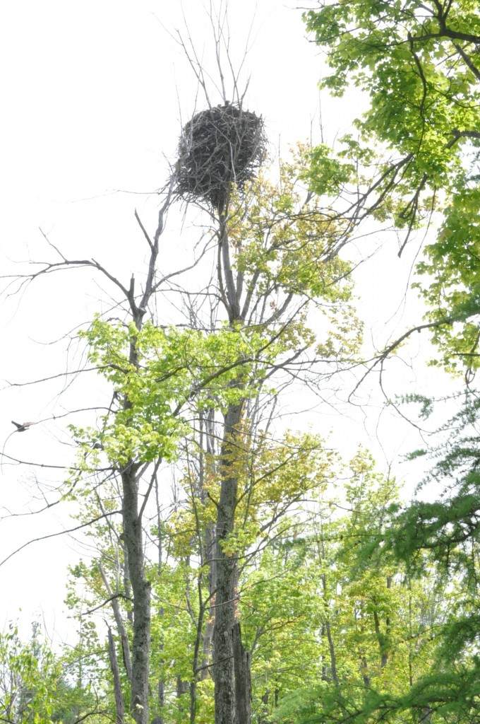 Mabelle Isham Shagbark Trails contains an active bald eagle nest that successfully fledged two chicks in 2015. Photo credit Rachelle Roake.