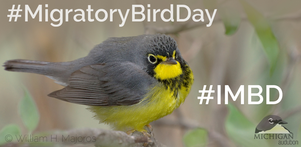 "Image shows a Canada Warbler, has words in a white font that read ""#MigratoryBirdDay"" and ""#IMBD"" Photo copyright William H. Majoros, creative commons use."