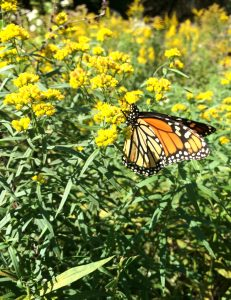 Monarch butterfly on grass-leaved goldenrod