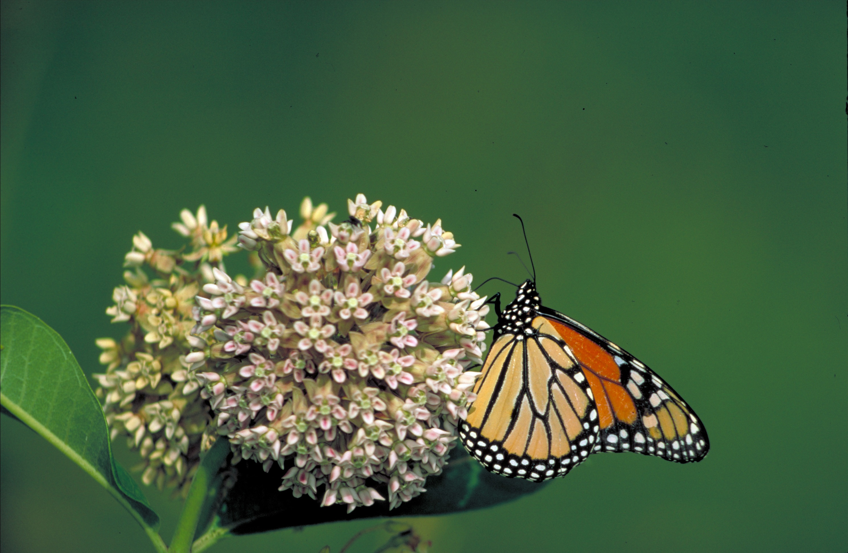 Image shows a Monarch Butterfly perching on pale milkweed flowers with a soft green background.