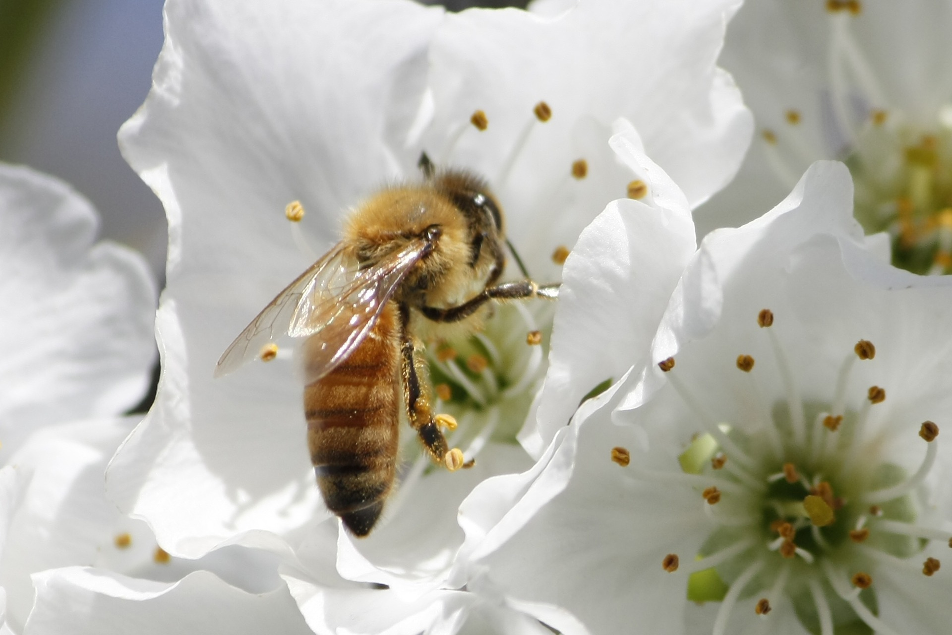 Image shows a honey bee perching on a white flower.