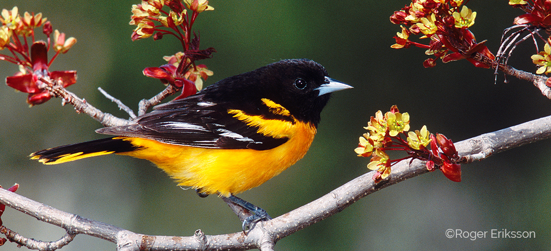 Image shows a male Baltimore Oriole perching on a branch, surrounded by red-yellow flowers.