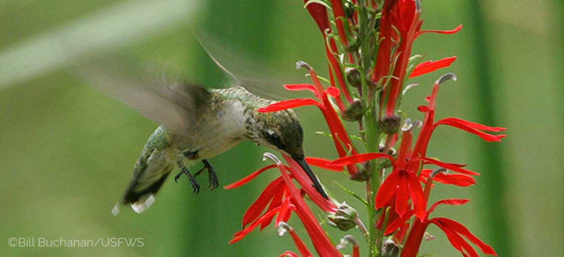 Image shows a female Ruby-throated Hummingbird drinking from a red Cardinal flower, with a soft green background.